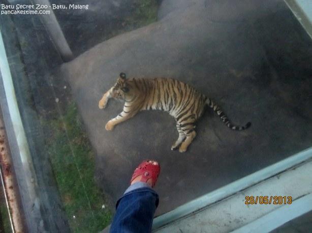 Ngeliat harimau sumatra dari kaca bening yang kita injak. Cool!